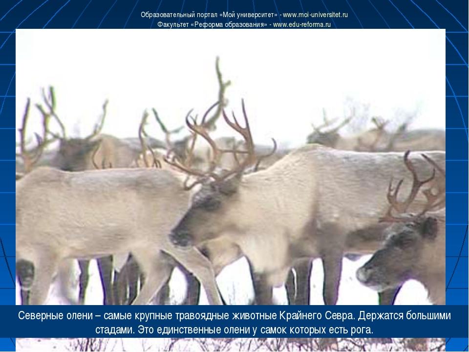 Северные олени – самые крупные травоядные животные Крайнего Севра. Держатся б...