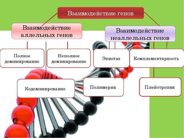 Взаимодействие генов Взаимодействие аллельных генов Взаимодействие неаллельны...