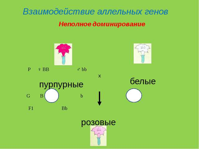 P♀ BB♂ bb пурпурные белые G B b F1 Bb розовые x Взаимодействие а...