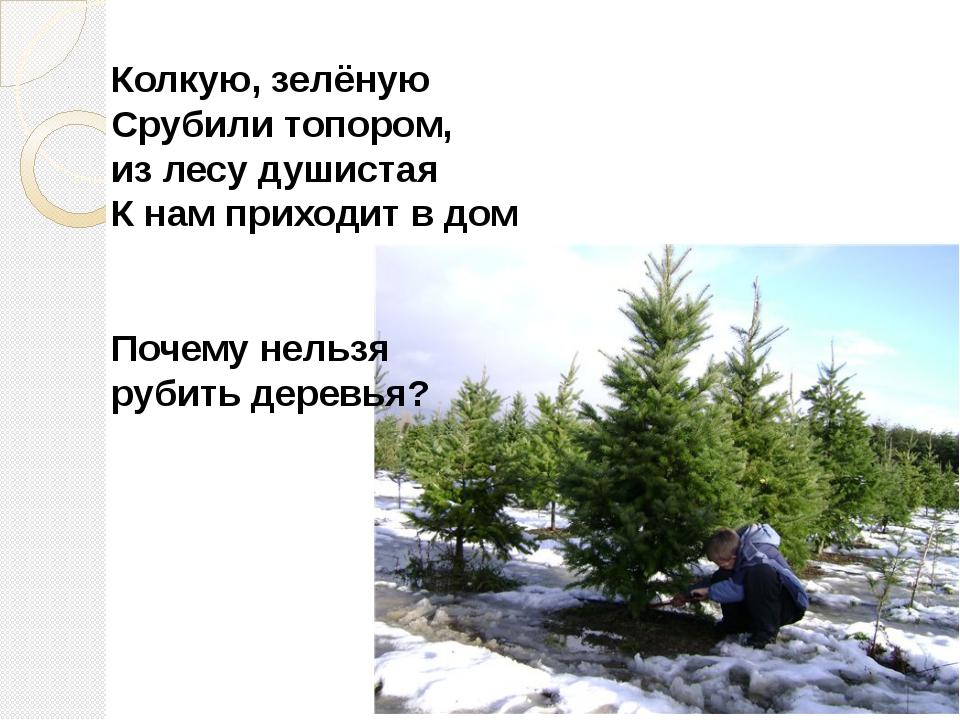 Колкую, зелёную Срубили топором, из лесу душистая К нам приходит в дом Почему...