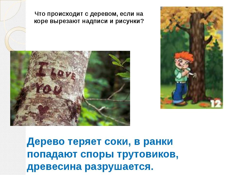 Что происходит с деревом, если на коре вырезают надписи и рисунки? Дерево тер...