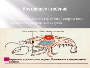 Внутреннее строение Сердце рака находится на спинной стороне тела. Кровеносна