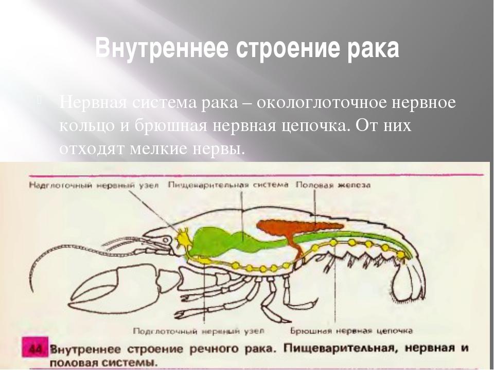 Внутреннее строение рака Нервная система рака – окологлоточное нервное кольцо...