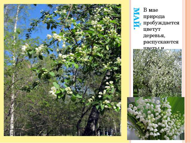МАЙ. В мае природа пробуждается цветут деревья, распускаются цветы и растут т...