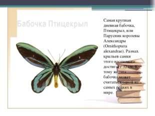 Бабочка Птицекрыл Самая крупная дневная бабочка, Птицекрыл, или Парусник коро