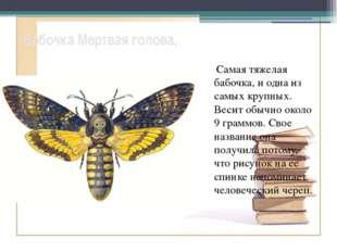 Бабочка Мертвая голова, Самая тяжелая бабочка, и одна из самых крупных. Веси