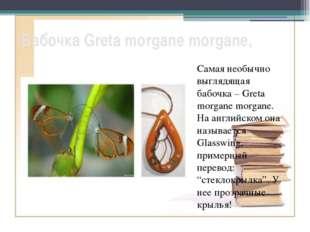 Бабочка Greta morgane morgane, Самая необычно выглядящая бабочка – Greta morg