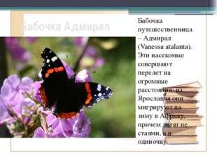 Бабочка Адмирал Бабочка путешественница – Адмирал (Vanessa atalanta). Эти нас