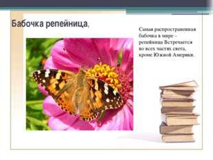 Бабочка репейница, Самая распространенная бабочка в мире – репейница Встречае