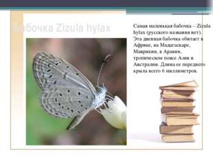 Бабочка Zizula hylax Самая маленькая бабочка – Zizula hylax (русского названи