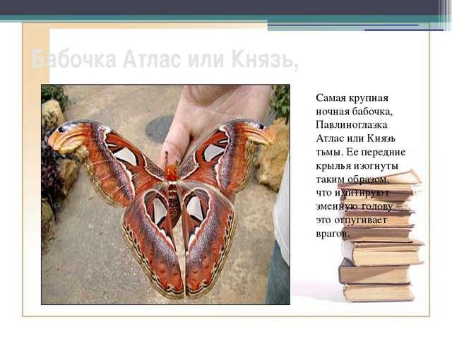 Бабочка Атлас или Князь, Самая крупная ночная бабочка, Павлиноглазка Атлас ил...