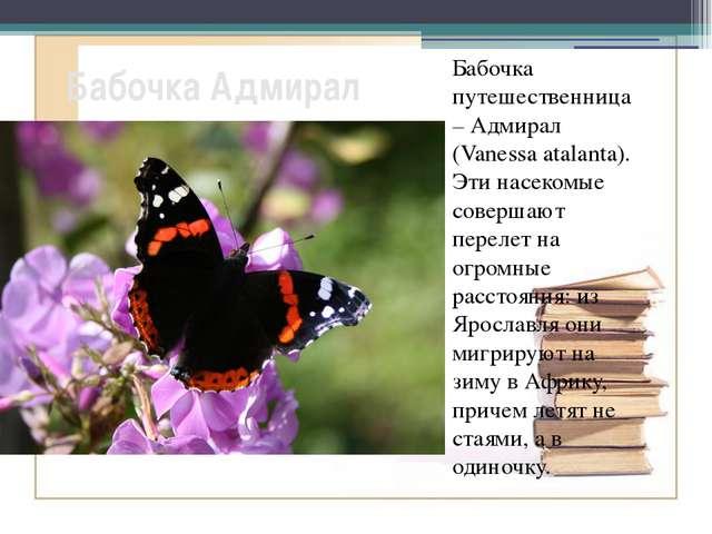 Бабочка Адмирал Бабочка путешественница – Адмирал (Vanessa atalanta). Эти нас...