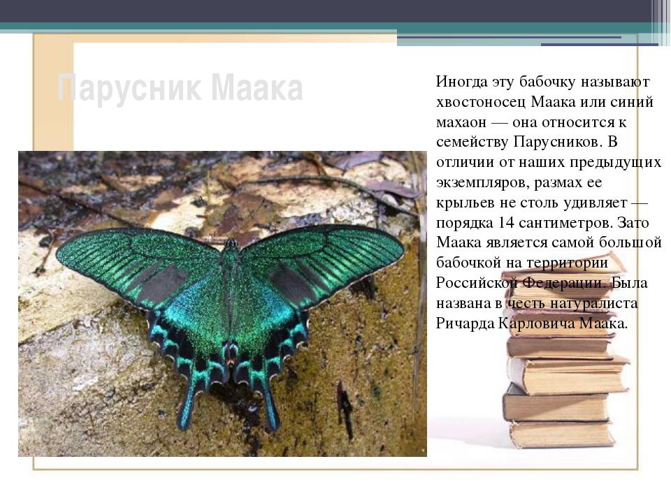 Парусник Маака Иногда эту бабочку называют хвостоносец Маака или синий махаон...