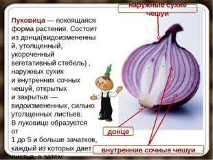 донце Луковица— покоящаяся форма растения. Состоит издонца(видоизмененный,
