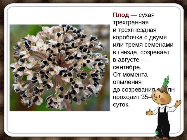 Плод— сухая трехгранная итрехгнездная коробочка сдвумя илитремя семенами...