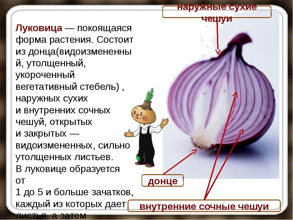 донце Луковица— покоящаяся форма растения. Состоит издонца(видоизмененный,...