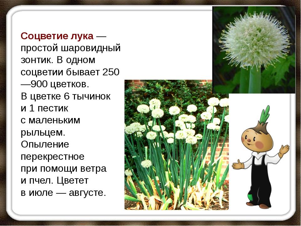 Соцветие лука— простой шаровидный зонтик. Водном соцветии бывает 250—900 цв...