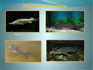 Ряд Осетрові риби білуга стерлядь севрюга бістер