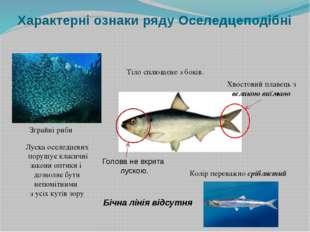 Характерні ознаки ряду Оселедцеподібні Зграйні риби Тіло сплющене з боків. Бі