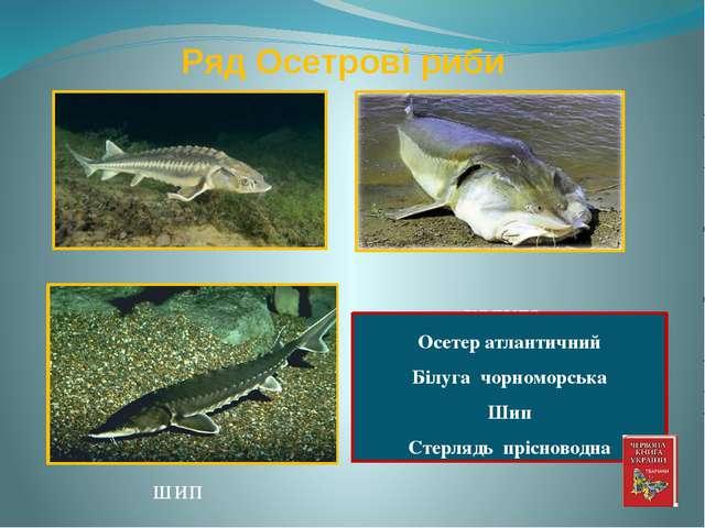 Ряд Осетрові риби осетер калуга Осетер атлантичний Білуга чорноморська Шип Ст...