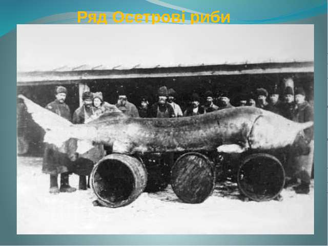 Ряд Осетрові риби