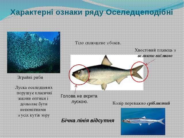 Характерні ознаки ряду Оселедцеподібні Зграйні риби Тіло сплющене з боків. Бі...
