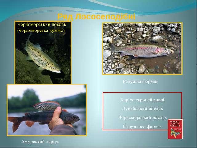 Ряд Лососеподібні Радужна форель Харіус європейський Дунайський лосось Чорном...