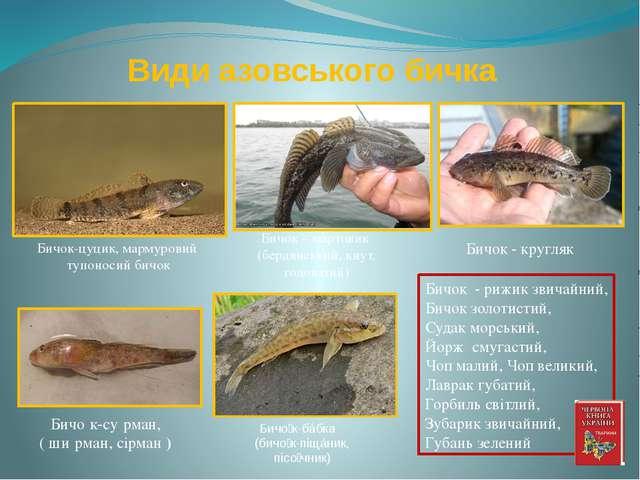 Види азовського бичка Бичок - кругляк Бичо́к-бáбка (бичо́к-піщáник, пісо́чник...