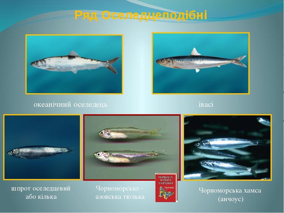 Ряд Оселедцеподібні океанічний оселедець івасі шпрот оселедцевий або кілька Ч...