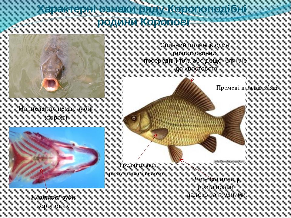 Характерні ознаки ряду Коропоподібні родини Коропові Глоткові зуби коропових...