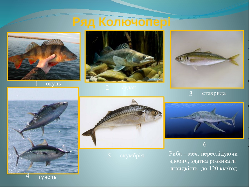 Ряд Колючопері окунь судак скумбрія тунець ставрида Риба – меч, переслідуючи...
