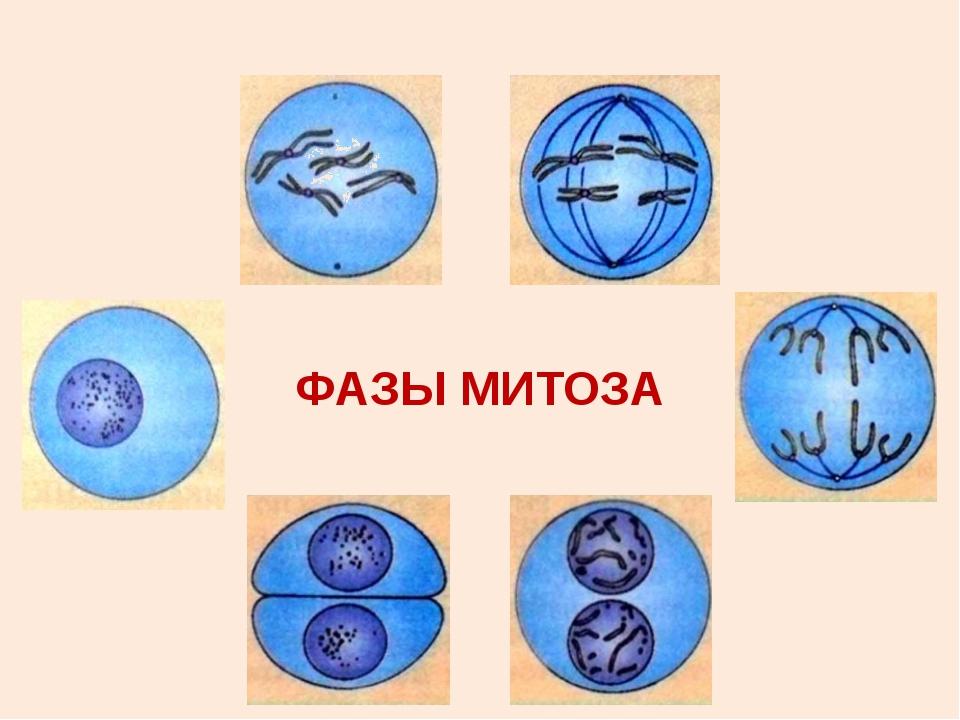 профаза образование хромосом с двумя хроматидами (2n 4c), разрушение ядерной...