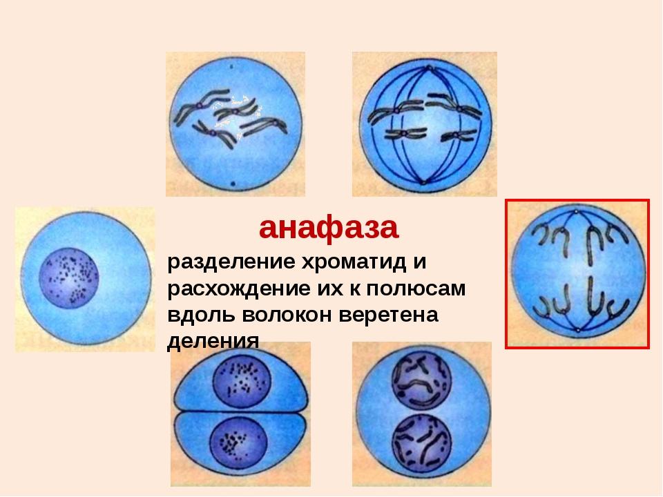 цитокенез деление цитоплазмы клетки и образование новых клеточных мембран, дв...