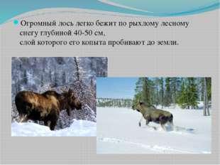 Огромный лось легко бежит по рыхлому лесному снегу глубиной 40-50 см, слой ко