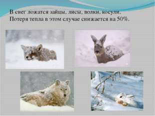 В снег ложатся зайцы, лисы, волки, косули. Потеря тепла в этом случае снижает