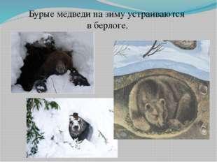 Бурые медведи на зиму устраиваются в берлоге.