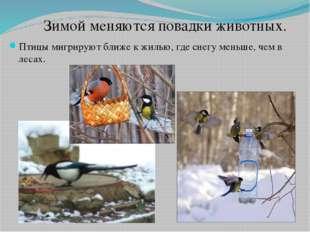 Птицы мигрируют ближе к жилью, где снегу меньше, чем в лесах. Зимой меняются