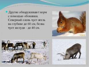 Другие обнаруживают корм с помощью обоняния. Северный олень чует ягель на глу