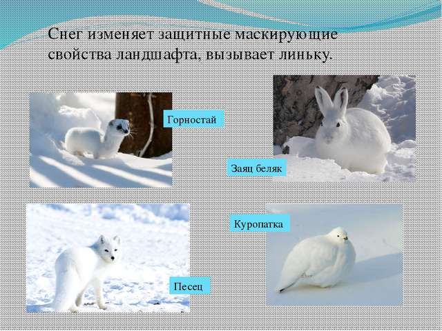 Снег изменяет защитные маскирующие свойства ландшафта, вызывает линьку. Горно...