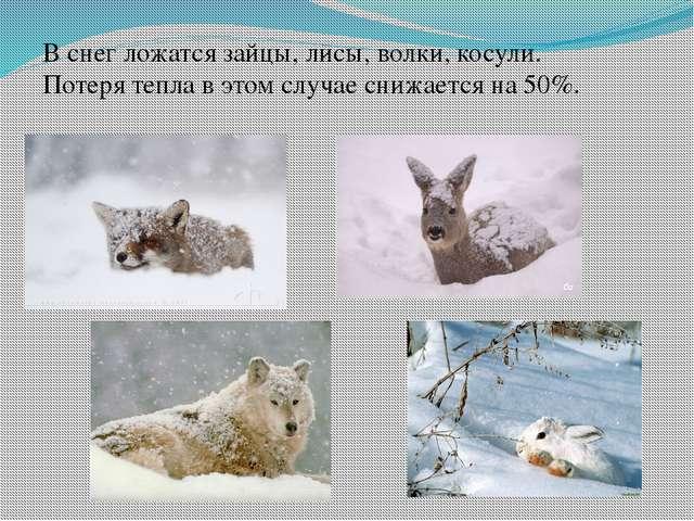 В снег ложатся зайцы, лисы, волки, косули. Потеря тепла в этом случае снижает...