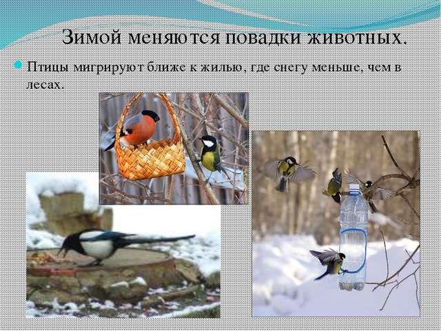 Птицы мигрируют ближе к жилью, где снегу меньше, чем в лесах. Зимой меняются...