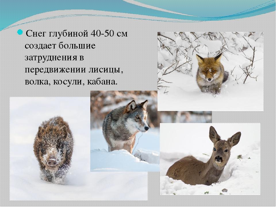 Снег глубиной 40-50 см создает большие затруднения в передвижении лисицы, вол...