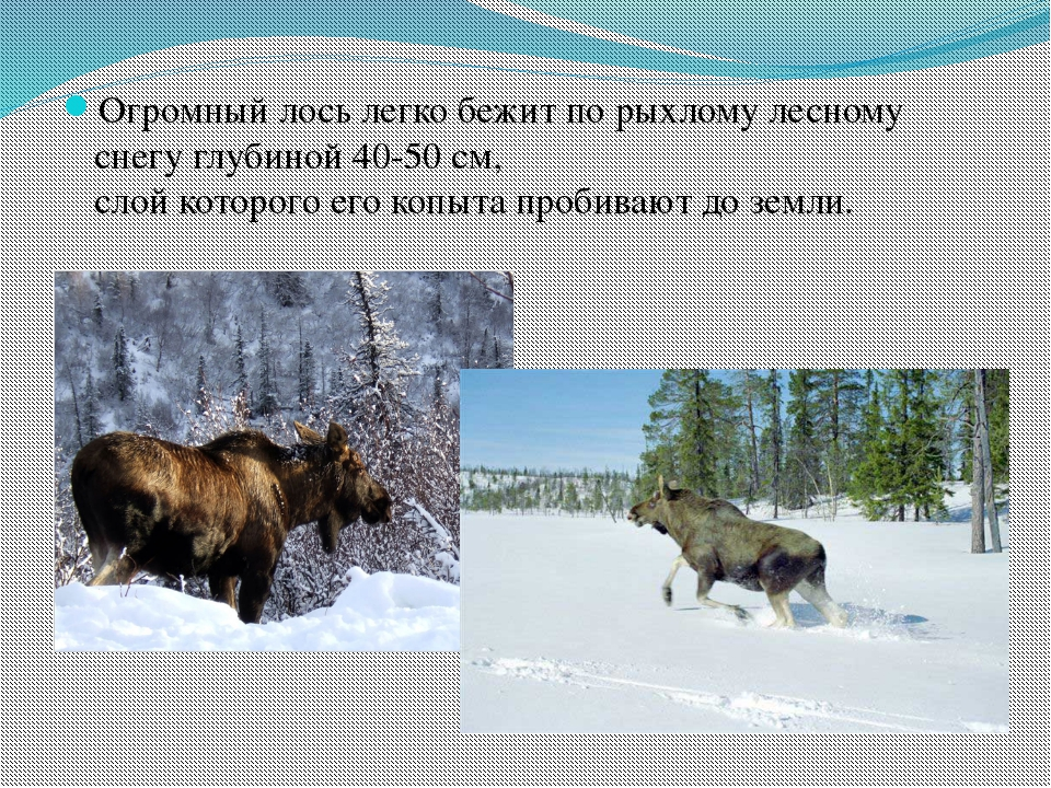Огромный лось легко бежит по рыхлому лесному снегу глубиной 40-50 см, слой ко...