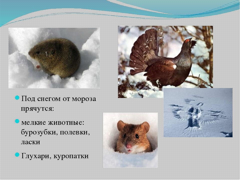Под снегом от мороза прячутся: мелкие животные: бурозубки, полевки, ласки Глу...