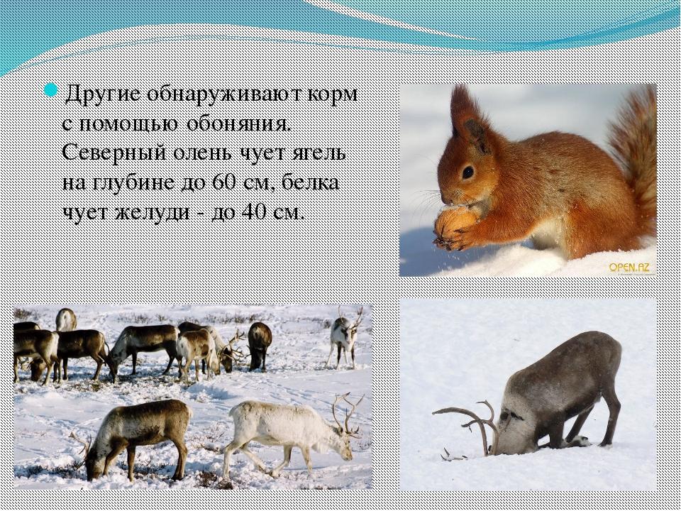 Другие обнаруживают корм с помощью обоняния. Северный олень чует ягель на глу...