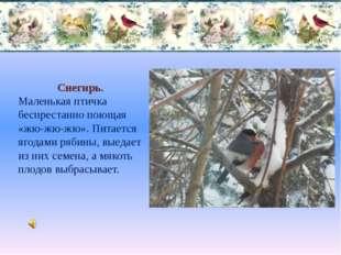 Снегирь. Маленькая птичка беспрестанно поющая «жю-жю-жю». Питается ягодами ря