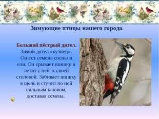 Зимующие птицы нашего города. Большой пёстрый дятел. Зимой дятел «кузнец». Он