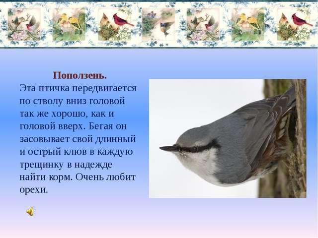 Поползень. Эта птичка передвигается по стволу вниз головой так же хорошо, как...