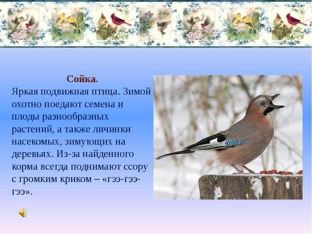Сойка. Яркая подвижная птица. Зимой охотно поедают семена и плоды разнообразн...