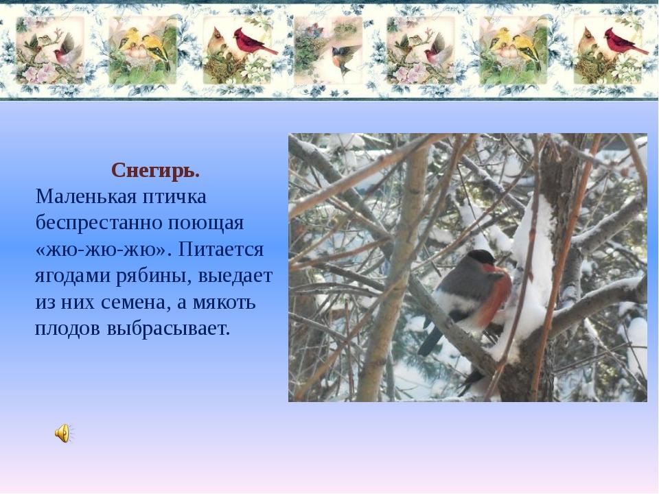 Снегирь. Маленькая птичка беспрестанно поющая «жю-жю-жю». Питается ягодами ря...